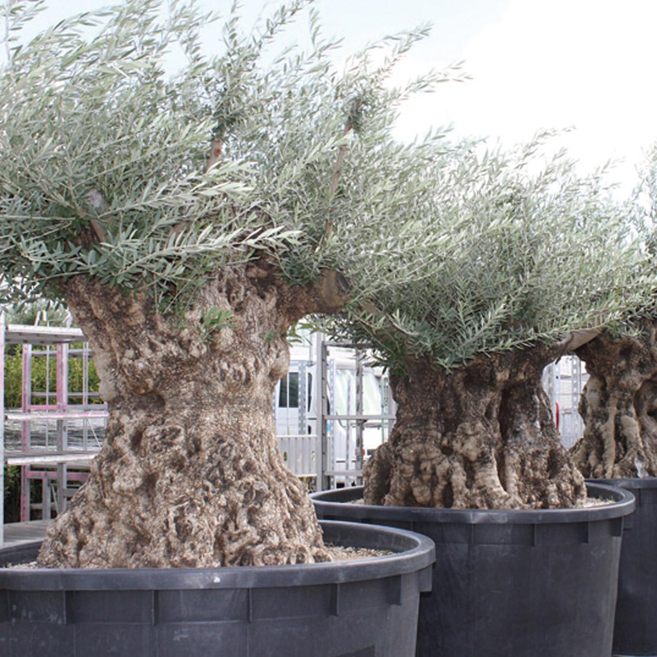 オリーブ古木 樹齢200-1500年