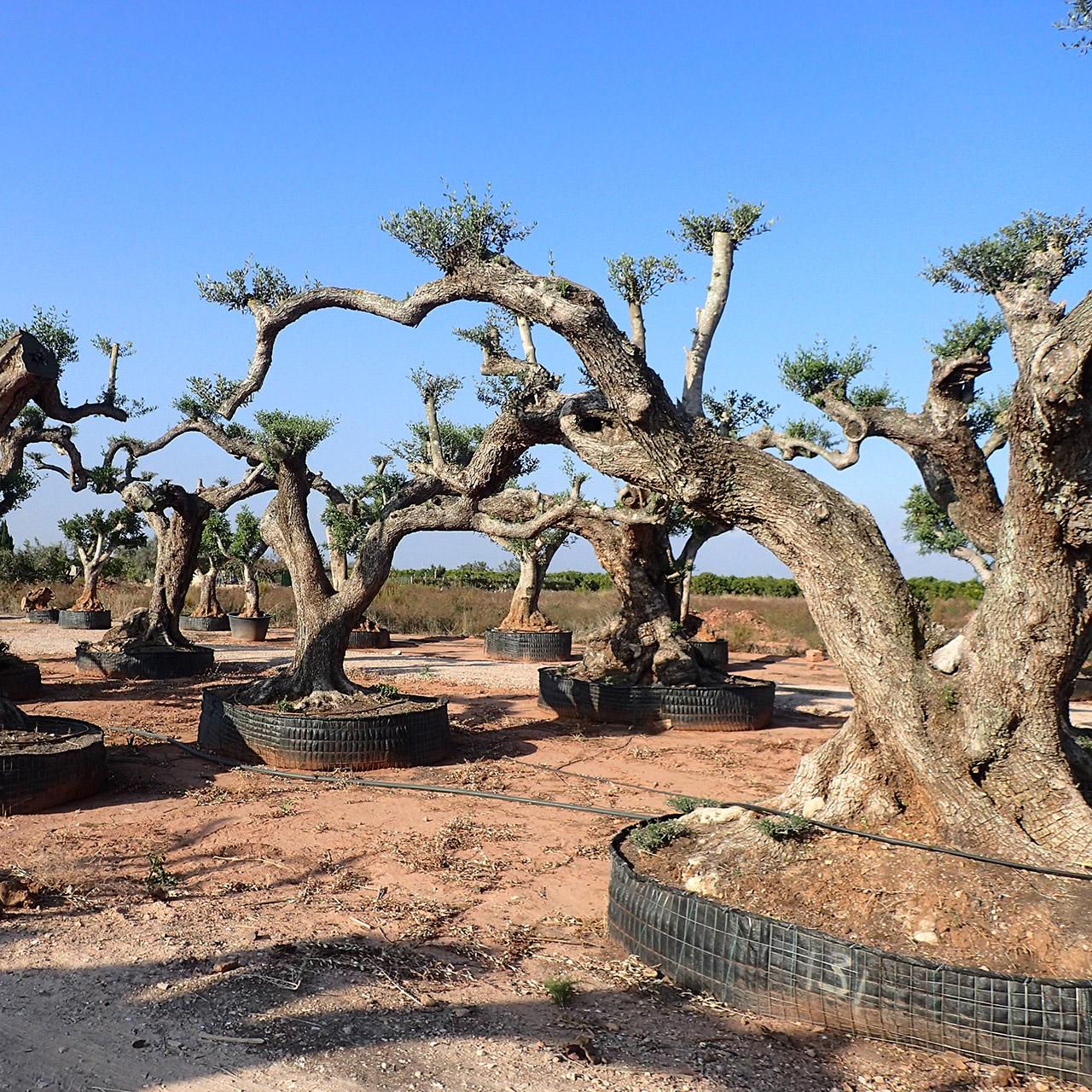 オリーブ古木 樹齢200-1500年 image2