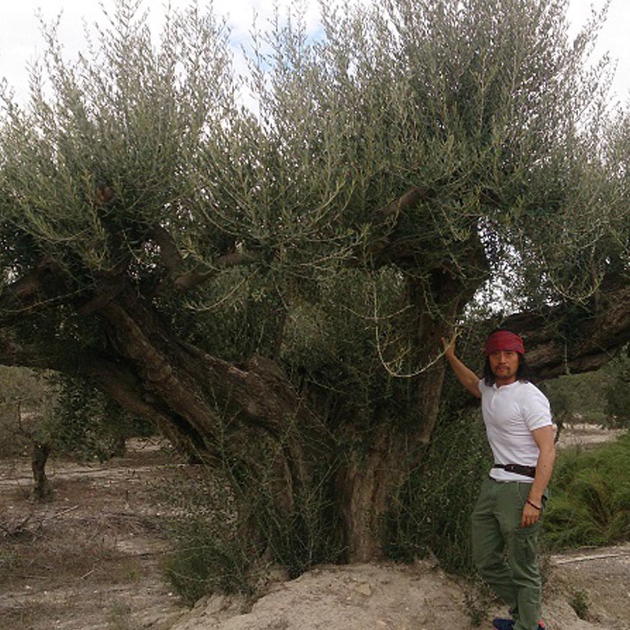 オリーブ古木 樹齢200-1500年 image3